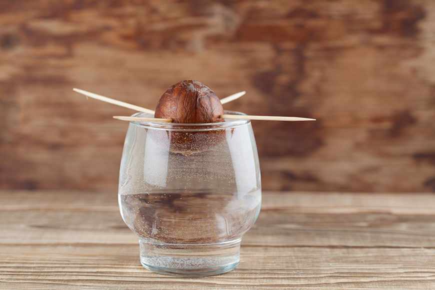 Avocado seed in glass with water – first growth stage of avocado plant