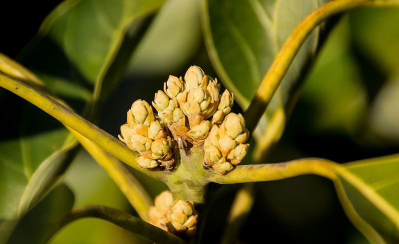 How to Care for Your Avocado Tree in the Winter - AvoSeedo